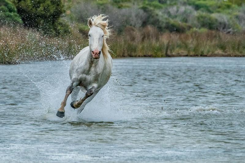 White Horse of Provence
