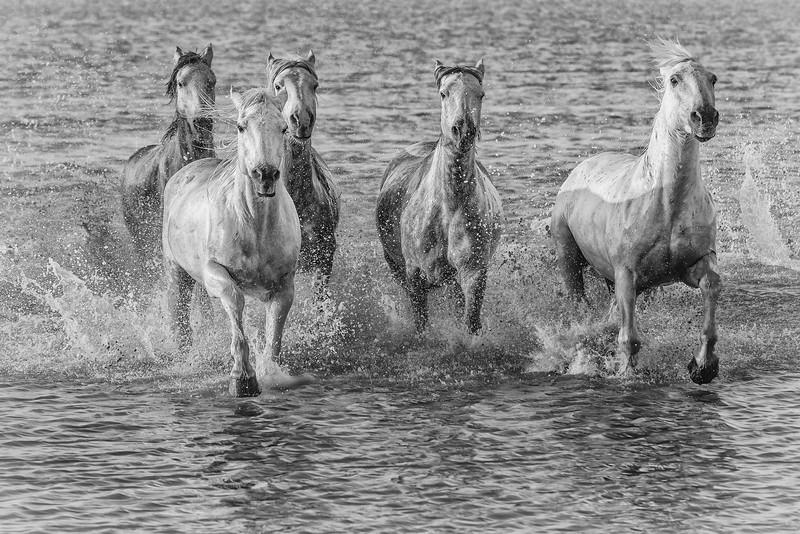 White Horses of Provence