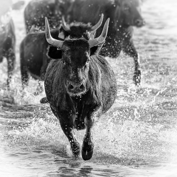 Black Bulls of Provence