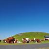 La Motte de Brion et les bovidés