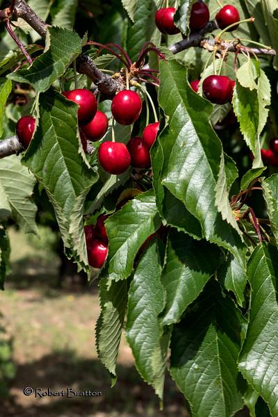 Cherries Growing in Wine Country