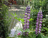 Lupine.  Claude Monet's Water Garden.  50 miles NW of Paris.  Giverny,  Upper Normandy, France.