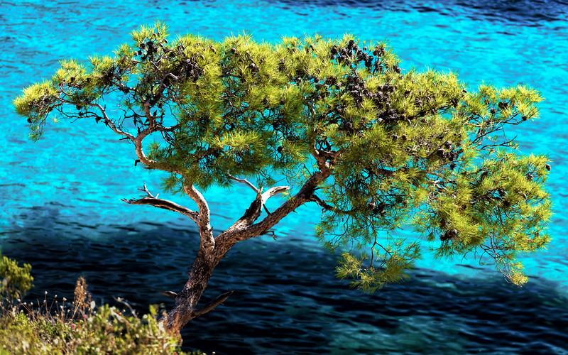 Pine tree at Calanque de Sormiou in the Mediterranean sea