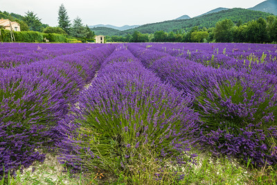 Lavender field in Province