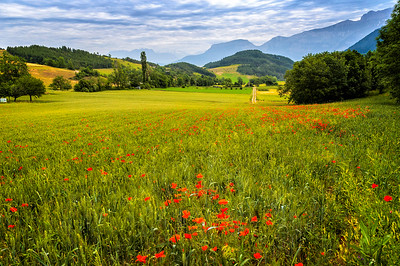 Richards___A field of poppys in Southern France