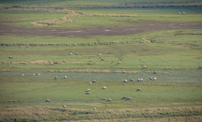 Sheep in the meadow - Mont Saint Michel