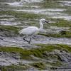 Knee deep -  Great White Heron - Conleau France