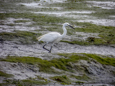 Knee deep -  Great White Heron - Conleau France