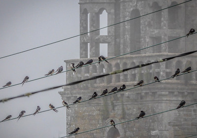 Swallows on a wire - Saint Servant, France