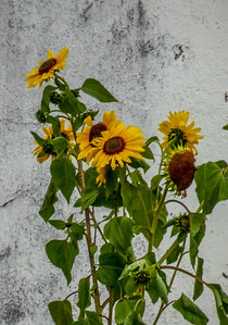 Sun flowers in Carnac France