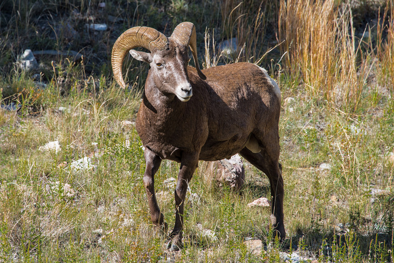Big Horn Sheep RMNP