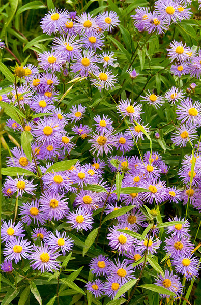 "Colorado is a great state for wild flower viewing in the spring.  These ""Tahokah Daisies"" were found just north of Crested Butte."