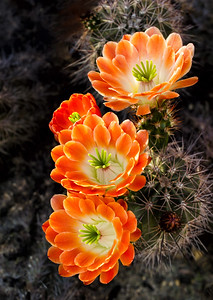 Orange cactus sRGB 0604cf Frank S  PL edit