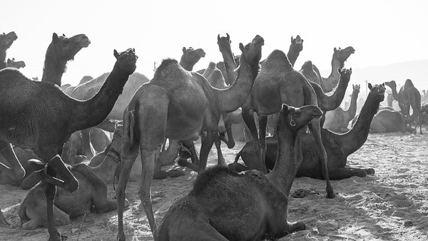 Frankieboy Photography |  Camels for Sale