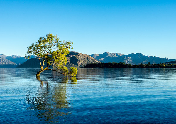 Reflection at that Wanaka Tree