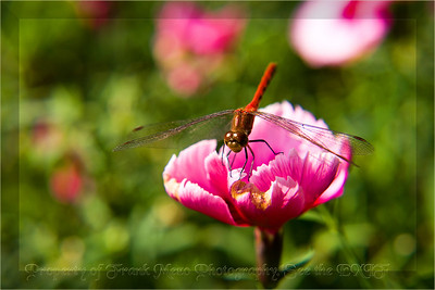 400102389_red dragonfly4170 copy-border