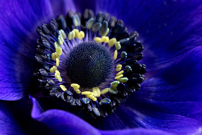 13 Blue French Anemone