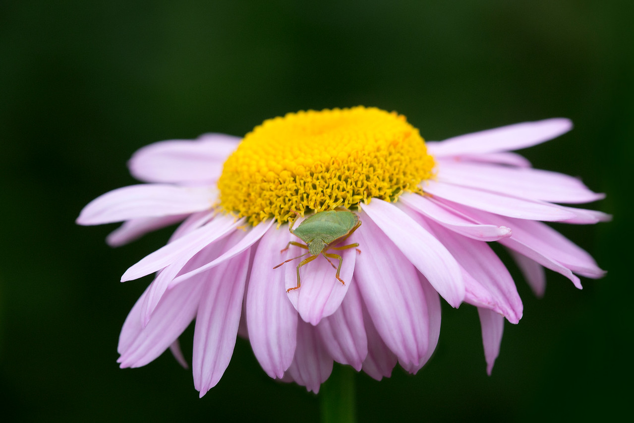 05 Green shield bug on a pink Daisy