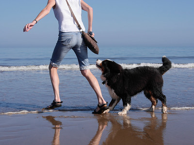 Bernese Mountain Dog exercising on a beach, sandsend,Yorkshire,UK
