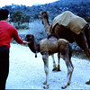 Easter 1968 near Bodrum Shirley feeds a young camal.  A couple of Larkins look on.