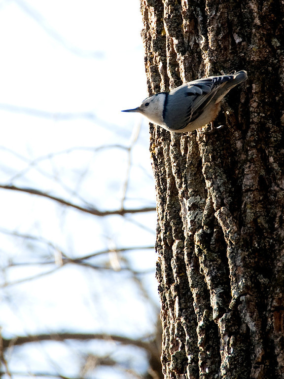 clip-015-bird_nuthatch-wdsm-09jan12-001-3049