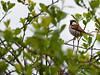 015-bird_sparrow-wdsm-24apr16-12x09-002-8029
