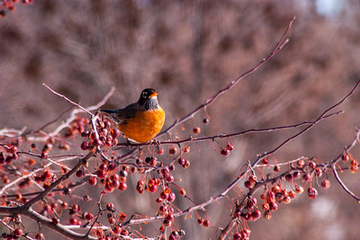 clip-015-bird_robin-wdsm-11feb14-003-1249