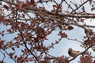 bird_sparrow-wdsm-13apr15-18x12-003-2479