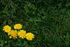 015-dandelion-wdsm-21apr16-18x12-003-7812