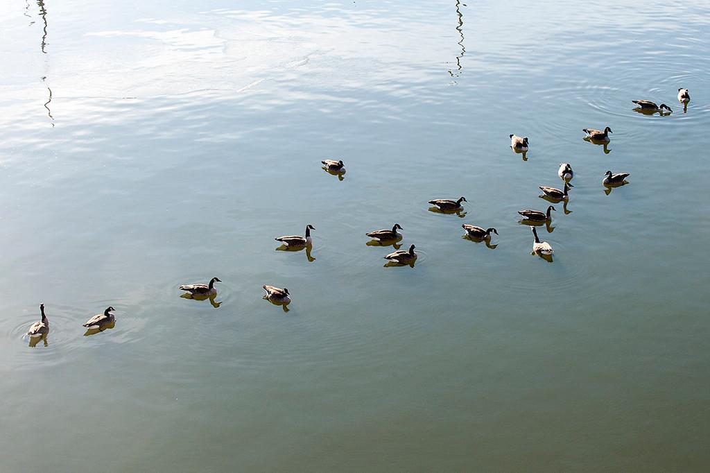 015-geese-dsm-15jan13-9300