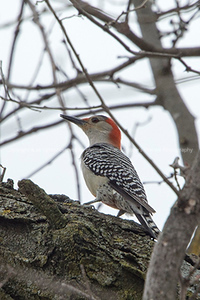 clip-015-bird_woodpecker-wdsm-12apr17-04x06-007-8291