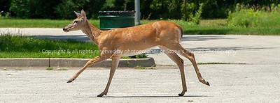 015-deer-wdsm-03jul18-851x315-007-100-6019