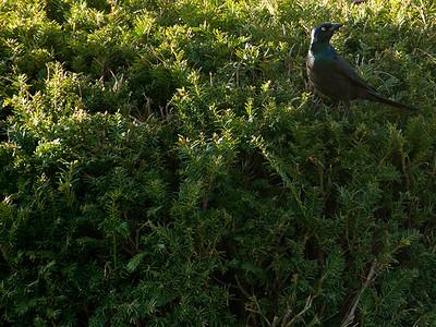 clip-bird-ankeny-13apr16-12x09-002-7512-web