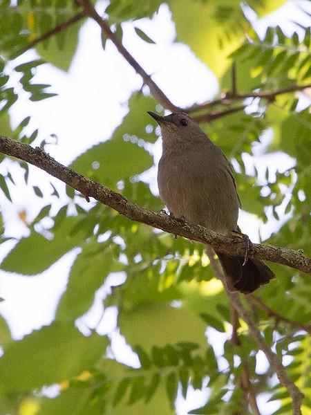 clip-015-bird_catbird-wdsm-04aug17-09x12-001-0502