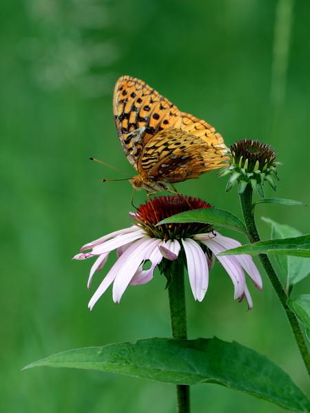 015-butterfly-wdsm-29jun17-09x12-001-0110