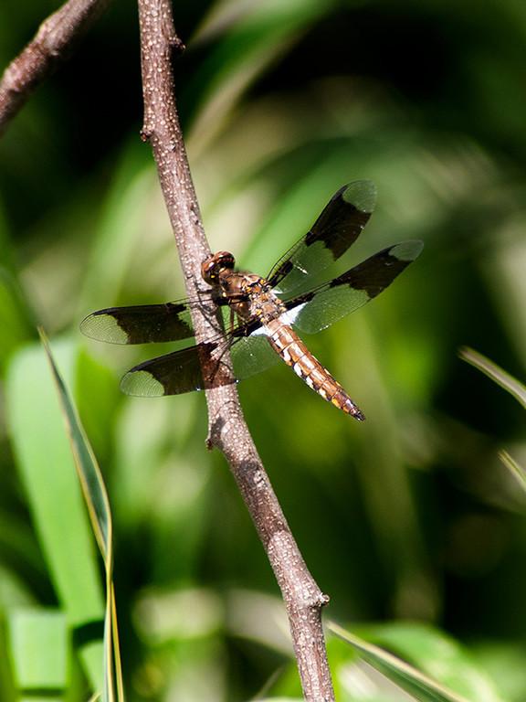 015-dragonfly-wdsm-29jun13-1750