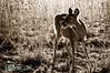 deer13-2