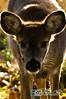 deer28