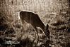 deer08-2