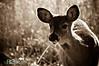 deer31-2