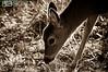 deer22-2