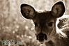 deer32-2