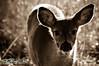 deer30-2