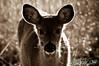 deer26-2