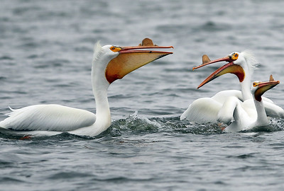hnews_0413_Griswold_Pelicans_04