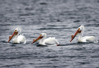 hnews_0413_Griswold_Pelicans_08