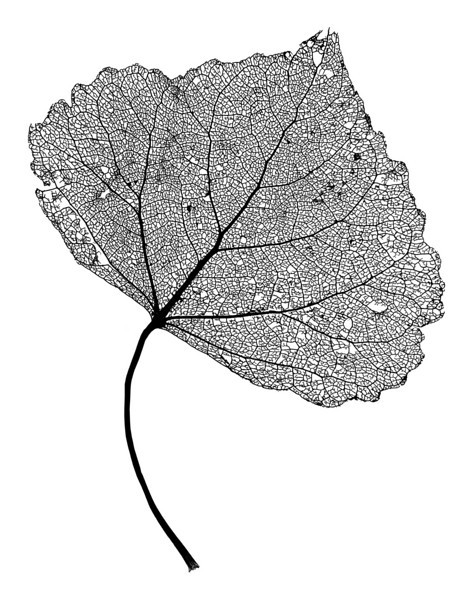 "Leaf Skeleton Network - close-up of a cottonwood tree leaf skeleton - showing its vascular network.   The ""XLarge"" and smaller photo sizes are FREE for any personal use (under a <a href=""http://creativecommons.org/licenses/by-nc-nd/2.0/"">Creative Commons</a> license). Click the ""Buy"" or shopping cart button (above the image) to purchase prints or downloads. PRICING: 1-megapixel Personal downloads are $4.95; 4-megapixel and ""Original"" (6-megapixel) Personal downloads are $49.95; 1-megapixel Commercial downloads are $49.95, 4-megapixel and ""Original"" (6-megapixel) Commercial downloads are $199.95; NOTE: Free personal use requires a photo credit to my company, ''<a href=""http://www.tssphoto.com/"">The Stock Solution</a>'', and link to that Web site if you use the image on a personal Web site."