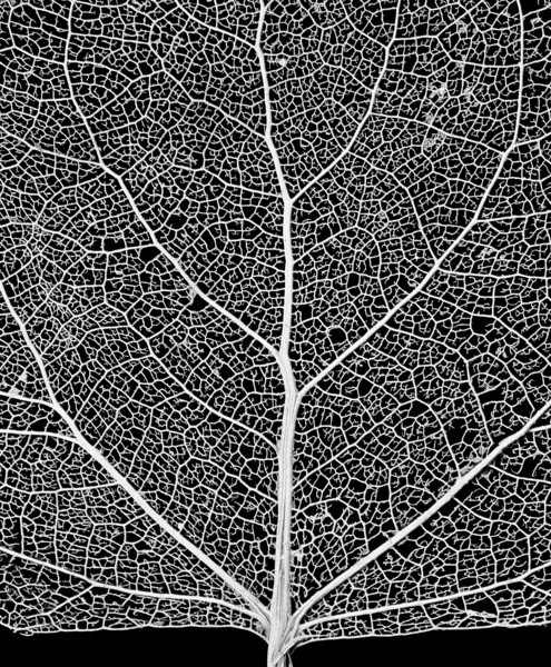 "Leaf Skeleton Network - close-up of a cottonwood tree leaf skeleton - showing its vascular network.   The ""XLarge"" and smaller photo sizes are FREE for any personal use (under a <a href=""http://creativecommons.org/licenses/by-nc-nd/2.0/"">Creative Commons</a> license). Click the ""Buy"" or shopping cart button (above the image) to purchase prints or downloads. PRICING: 1-megapixel Personal downloads are $4.95; 4-megapixel and ""Original"" (10-megapixel) Personal downloads are $49.95; 1-megapixel Commercial downloads are $49.95, 4-megapixel and ""Original"" (10-megapixel) Commercial downloads are $199.95; NOTE: Free personal use requires a photo credit to my company, ''<a href=""http://www.tssphoto.com/"">The Stock Solution</a>'', and link to that Web site if you use the image on a personal Web site."