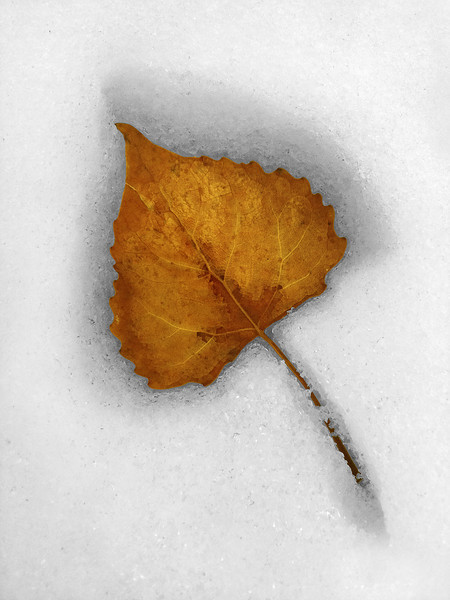 "Fallen leaf melting into the snow - a winter season still life.  The ""XLarge"" and smaller photo sizes are FREE for any personal use (under a <a href=""http://creativecommons.org/licenses/by-nc-nd/2.0/"">Creative Commons</a> license). Click the ""Buy"" or shopping cart button (above the image) to purchase prints or downloads. PRICING: 1-megapixel Personal downloads are $4.95; 4-megapixel Personal downloads are $49.95; 1-megapixel Commercial downloads are $49.95, 4-megapixel Commercial downloads are $199.95; NOTE: Free personal use requires a photo credit to my company, ''<a href=""http://www.tssphoto.com/"">The Stock Solution</a>'', and link to that Web site if you use the image on a personal Web site."