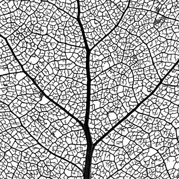 "Leaf Skeleton Network - close-up of a cottonwood tree leaf skeleton - showing its vascular network.   The ""XLarge"" and smaller photo sizes are FREE for any personal use (under a <a href=""http://creativecommons.org/licenses/by-nc-nd/2.0/"">Creative Commons</a> license). Click the ""Buy"" or shopping cart button (above the image) to purchase prints or downloads. PRICING: 1-megapixel Personal downloads are $4.95; 4-megapixel Personal downloads are $49.95; 1-megapixel Commercial downloads are $49.95, 4-megapixel Commercial downloads are $199.95; NOTE: Free personal use requires a photo credit to my company, ''<a href=""http://www.tssphoto.com/"">The Stock Solution</a>'', and link to that Web site if you use the image on a personal Web site."